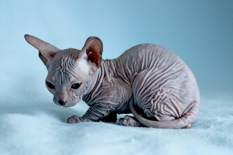 Фотография котенка донского сфинкса.