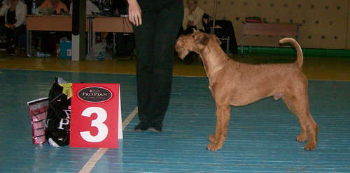 irish terrier Next Level